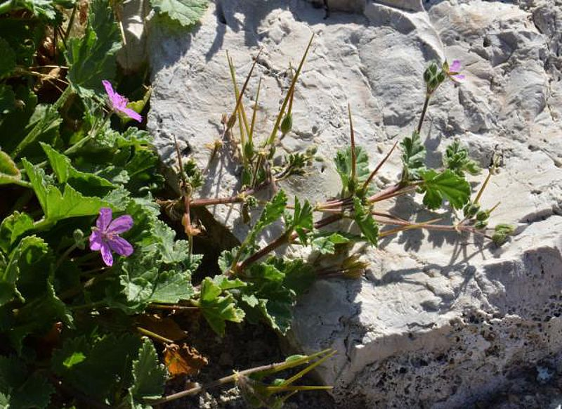 Erodium chium 4, Parc National des Calanques, France. Credit Jean-Pierre Piquet.