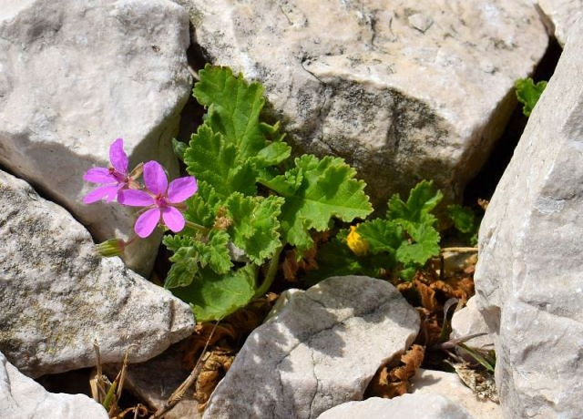 Erodium chium 7, Parc National des Calanques, France. Credit Jean-Pierre Piquet.