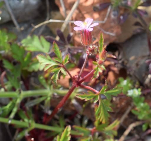 Geranium purpureum 1, Parc National des Calanques, France. Credit Jean-Pierre Piquet.