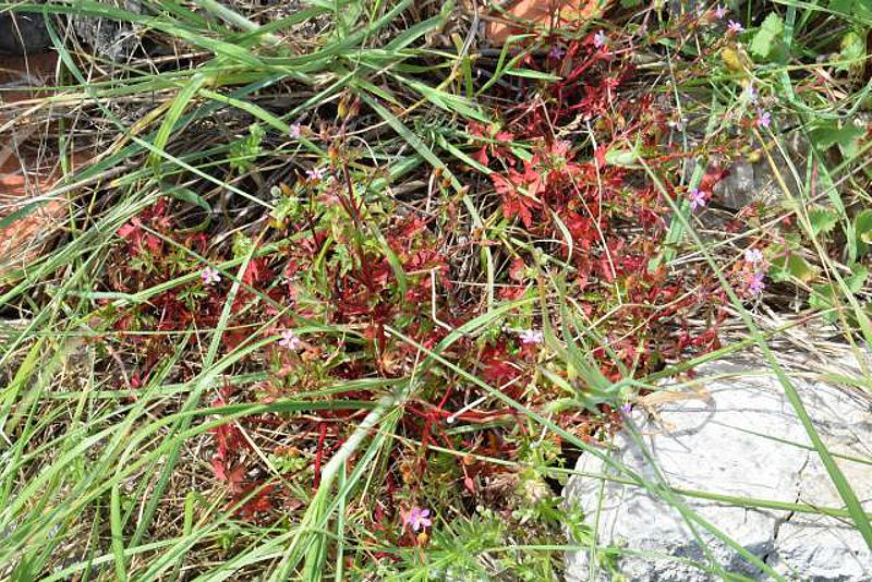 Geranium purpureum 2, Parc National des Calanques, France. Credit Jean-Pierre Piquet.