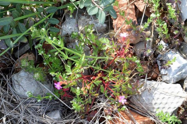 Geranium purpureum 3, Parc National des Calanques, France. Credit Jean-Pierre Piquet.