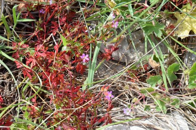Geranium purpureum 4, Parc National des Calanques, France. Credit Jean-Pierre Piquet.