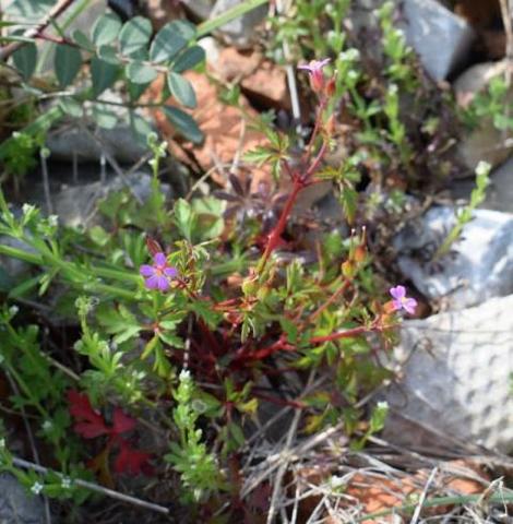 Geranium purpureum 5, Parc National des Calanques, France. Credit Jean-Pierre Piquet.