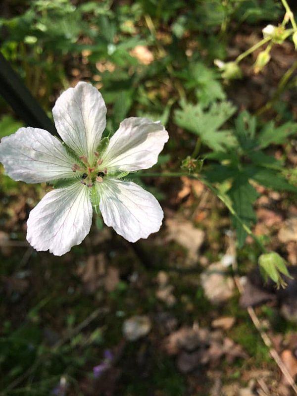 Geranium richardsonii. Credit Dominique Evrard.