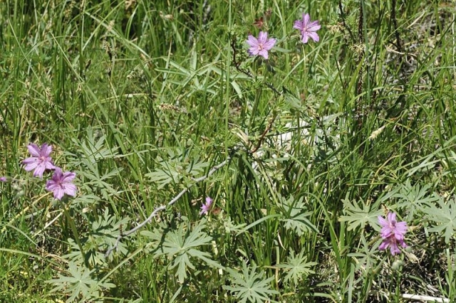 Geranium transversale 2, Sayram-Ugam, Kazakhstan. Credit Dominique Evrard.