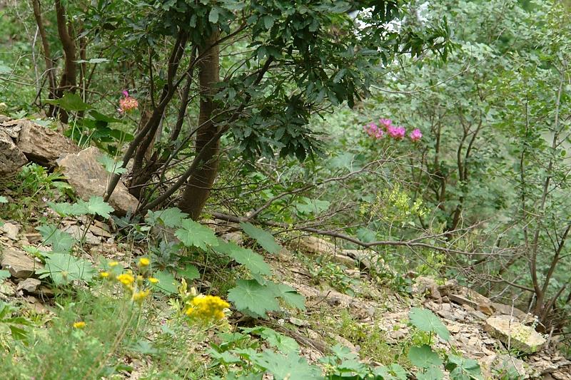Pelargonium quercetorum, Turkey 2. Credit Mehmet Firat