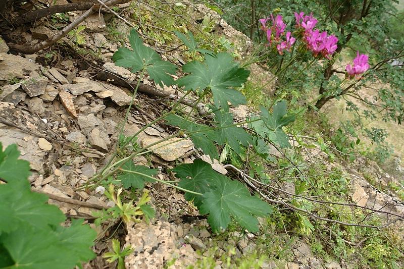 Pelargonium quercetorum, Turkey 3. Credit Mehmet Firat