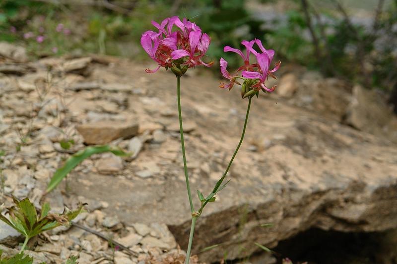 Pelargonium quercetorum, Turkey 5. Credit Mehmet Firat