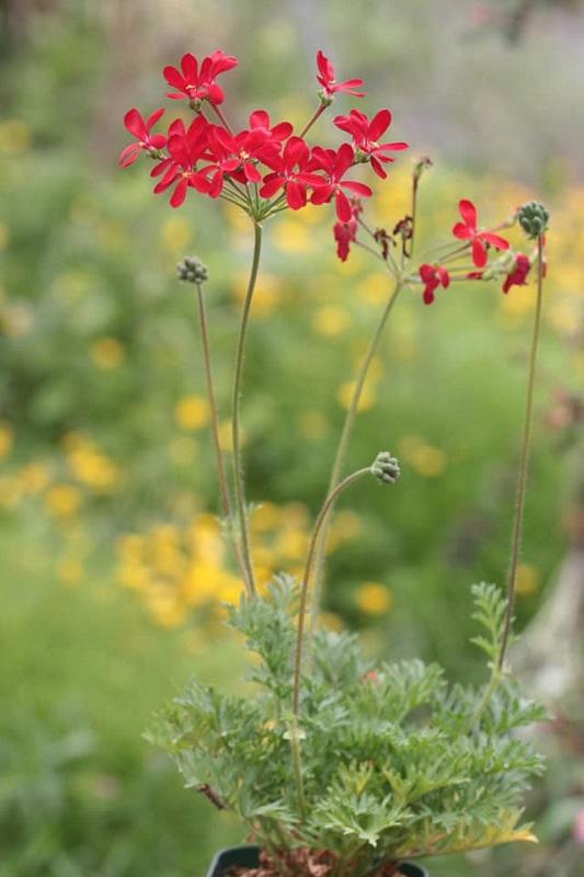 P. fulgidum x P. anethifolium 1. Credit: Toshiaki Ohgi.