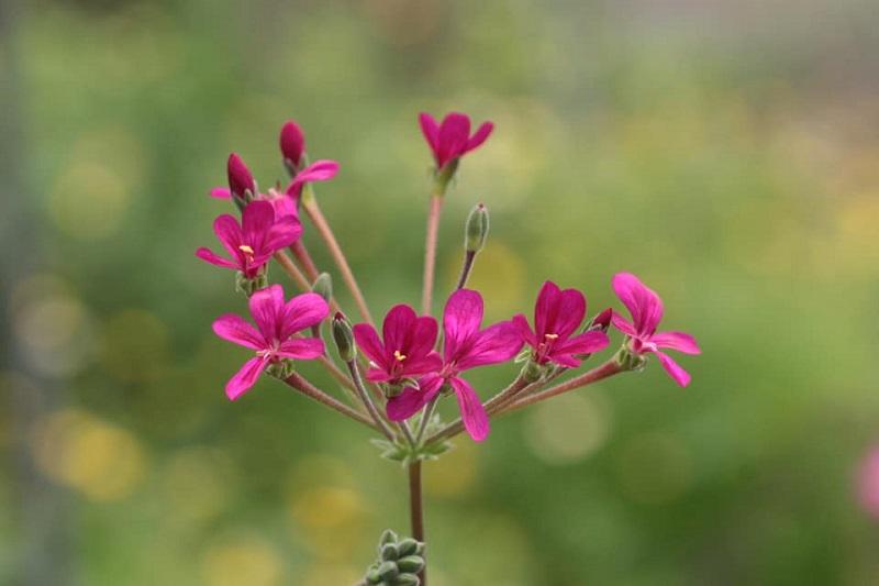 P. fulgidum x P. anethifolium 2. Credit: Toshiaki Ohgi.