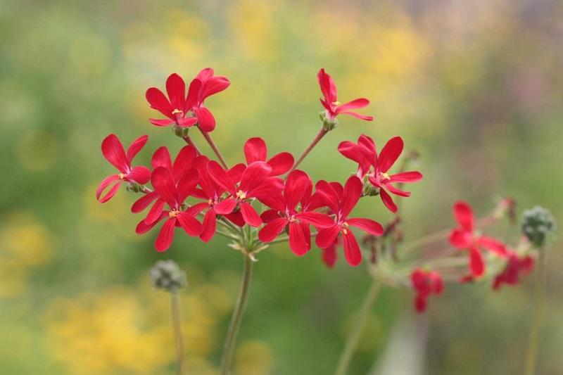 P. fulgidum x P. anethifolium 5. Credit: Toshiaki Ohgi.