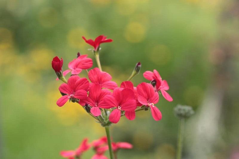 P. fulgidum x P. anethifolium 6. Credit: Toshiaki Ohgi.