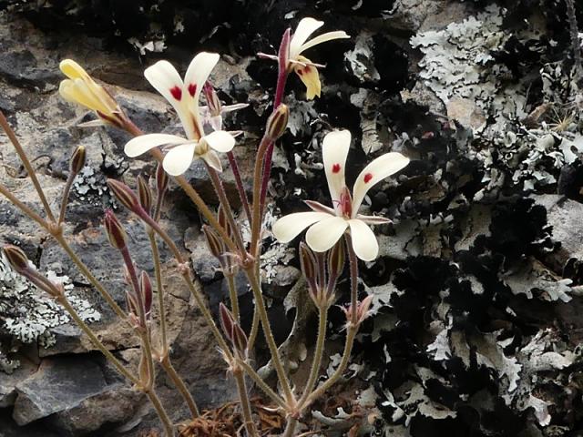 Pelargonium luteopetalum 2, Drie Kuilen NR. Credit: Jan Movitz.