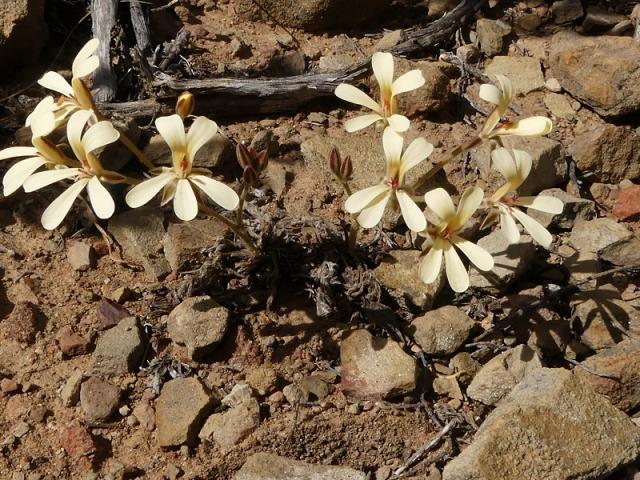 Pelargonium luteopetalum 1, Drie Kuilen NR. Credit: Jan Movitz.