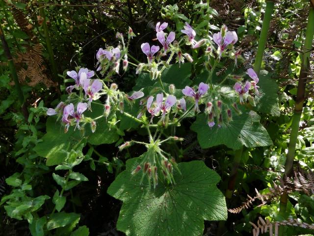 Pelargonium papilionaceum, N Robertson. Credit: jan Movitz.