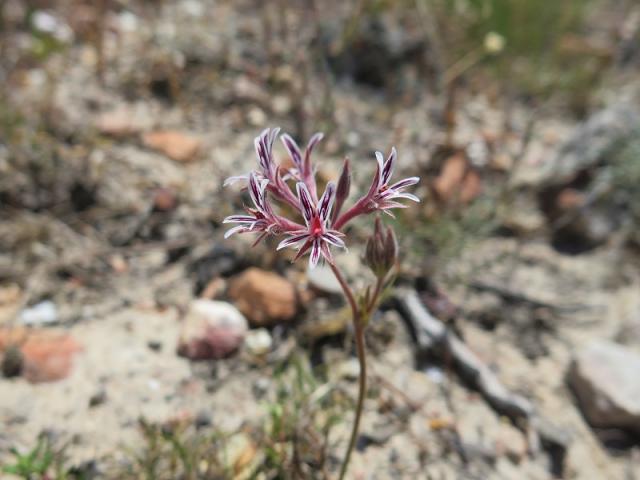 Pelargonium pilosellifolium, Barrydale. Credit: Jan Movitz.
