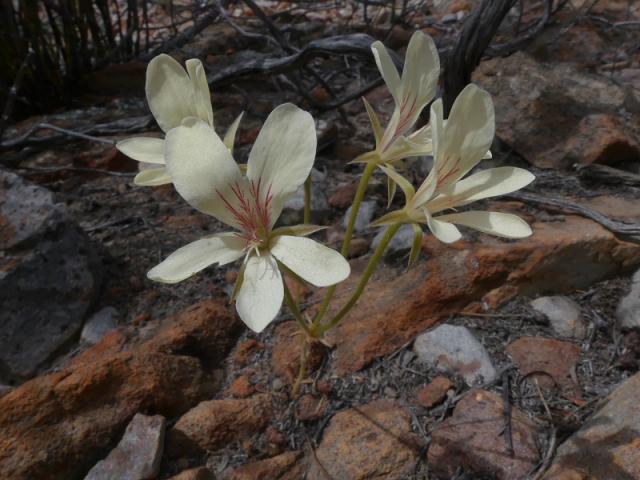 Pelargonium radiatum, McGregor. Credit: Jan Movitz.