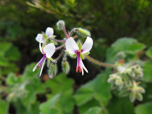 Pelargonium tomentosum, Marloth NR. Credit: Jan Movitz.
